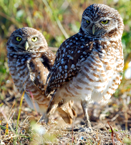 dreamstimefree_711681 Burrowing Owls by Kathy Wynn cropped